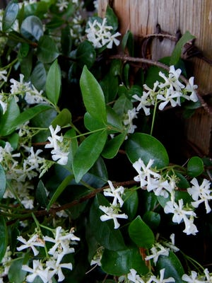 The pinwheel-like flowers of Confederate jasmine are surprisingly fragrant.