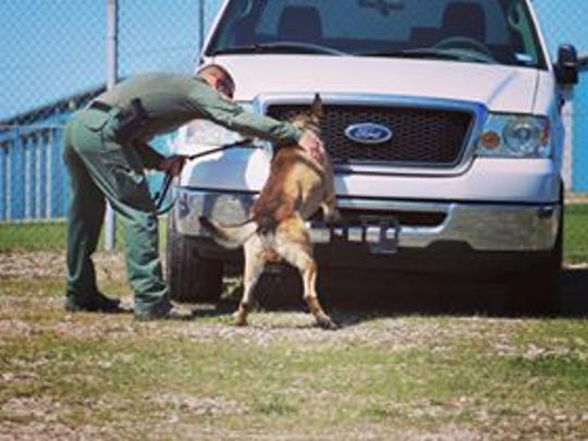 Kimbo is seen sniffing a truck during a training exercise.