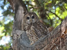 California's booming pot business poisoning spotted owls, research shows