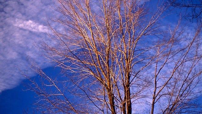 A white ash tree.
