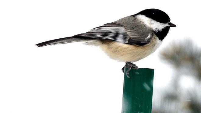 The black-capped chickadee, a cavity nesting bird, dependent on insects in pleasant seasons, looks for unfrozen fruit and seeds from perennial  plants during the chill of winter. Photo by Mark Blum of Galion.