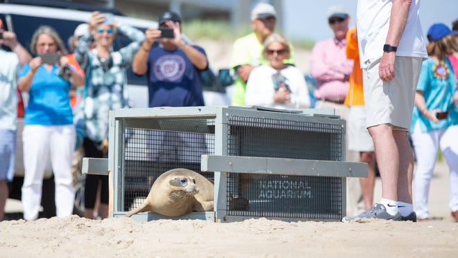 Marmalade the Seal is Released at 40th Street, Ocean City on June 7, 2018.