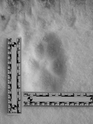 Steve Meurett attended a TWIN (Timber Wolf Information Network) tracking event in January 2015.