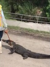 A 5-foot-long alligator was pulled from a pipe near Southwest Farm Road and Southwest Andalucia Court in Indiantown, according to the Martin County Sheriff's Office.