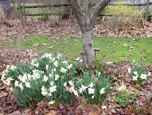 636586084505110664-Week-5-daffodils.jpg