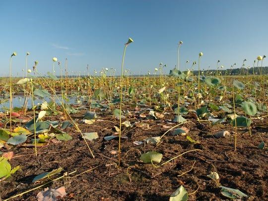 Aquatic vegetation stranded by receding water level