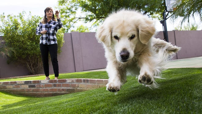 Cindy Schapira throws a treat for her golden retriever, Remington, at her home in Phoenix.He is part of Gabriel's Angels therapy dogs. Golden retrievers are one of the top five dogs to own.