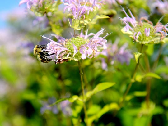 A bumble bee sits on a flower at the MSU bee research