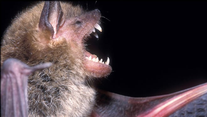 Mississippi bats are mosquito-eating machines and good to have around houses, but they are a problem when they find a home in attics.