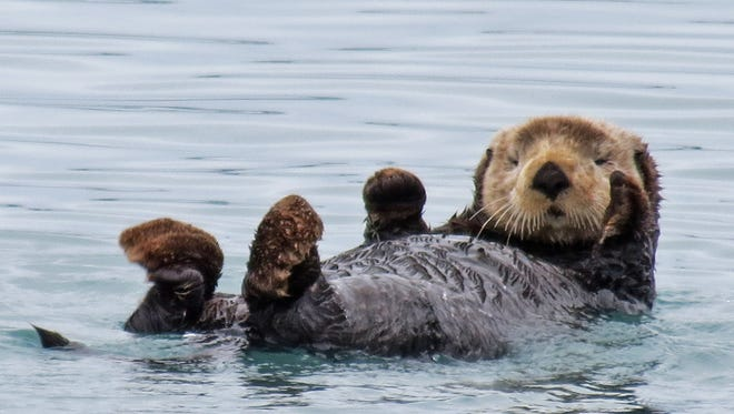 An Alaskan sea otter floats on its back in a fiord.