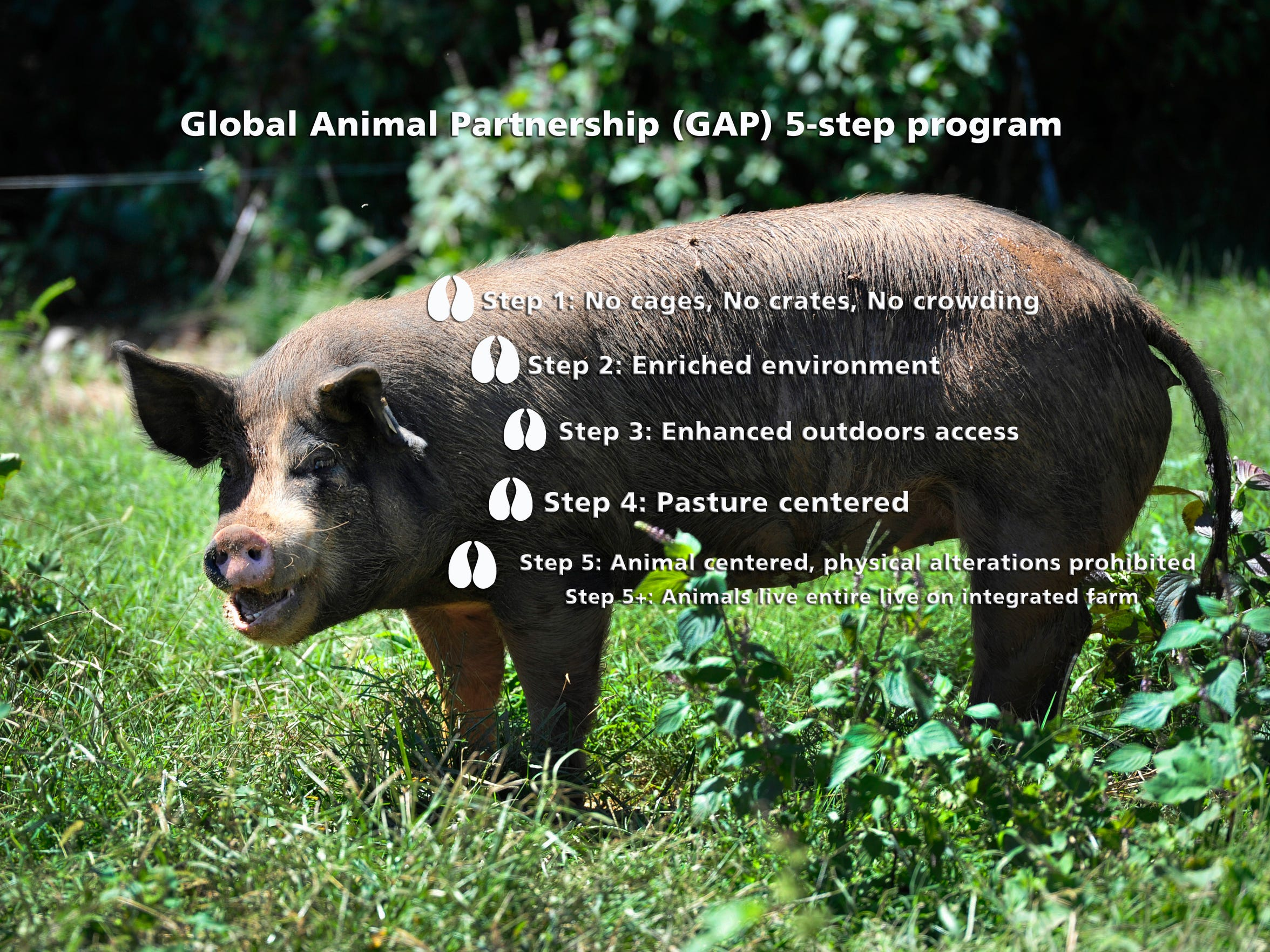 Click to enlarge image. A closer look at the Global Animal Partnership 5-step program.