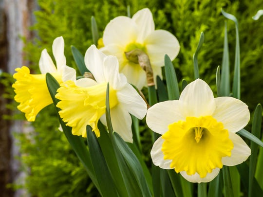 Daffodils return reliably in our local gardens, but
