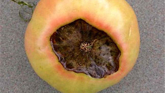 Bottom end or blossom end rot can occur early in the season as ugly black and brown sunken-in bottoms on the fruit.