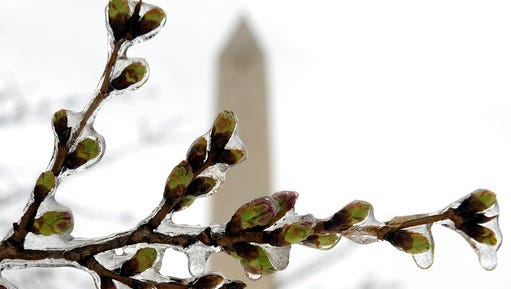 FILE - In this March 14, 2017 file photo,  Washington's famed cherry blossoms are covered in ice during a late winter storm in Washington, looking toward the Washington Monument. The National Park Service is concerned about the impact of cold weather on the blossoms.