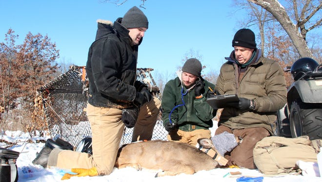 Department of Natural Resources employees (from left) Dan Storm, Mitchell Kern and Michael Watt process a white-tailed deer captured as part of the Southwest Wisconsin CWD, Deer and Predator Study. The project is taking place in two study areas, primarily in Iowa County. Photo taken Feb. 2, 2017 by Paul A. Smith.