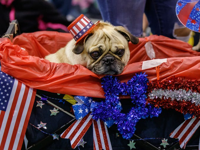 A pug participates in the Float & Buggy costume contest