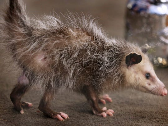 An opossums  are omnivores and mostly nocturnal.