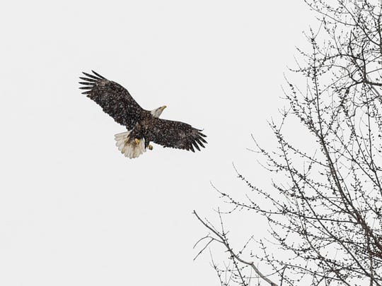 An eagle lands in a tree on the land the City of St. Joseph acquired to create a park shown Tuesday, March 20, where Stearns County Road 121 crosses the Sauk River.