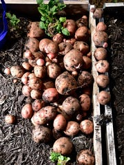 There are many ways to successfully grow potatoes at home, Joey and Holly Baird explained in a Feb. 11, 2017 talk at the Wisconsin Garden Expo.