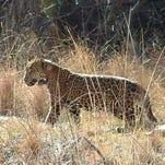 Macho B: Death of a jaguar