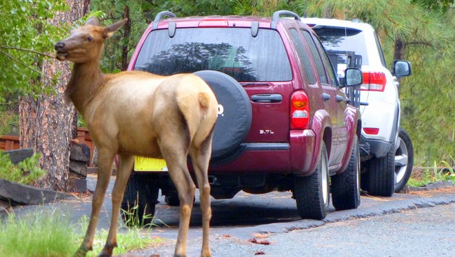 This elk cow is willing to share a parking spot with cars for the chance to snack on some leaves.