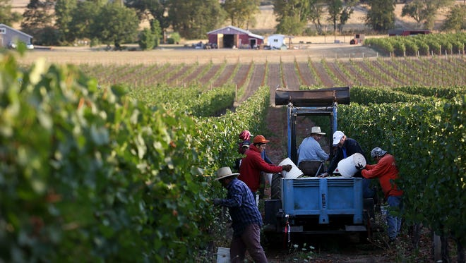 Top: Eola Hills Wine Cellars began harvesting Chardonnay grapes from their Wolf Hill Vineyard for use in sparkling wine on Wednesday west of Salem.