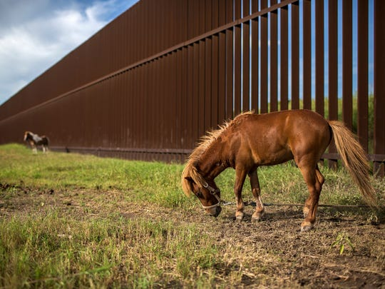 Ponies graze next to the border fence in Cameron County,