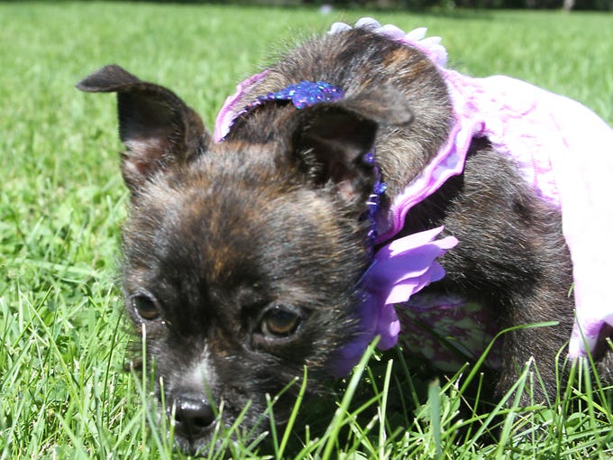 Hazel the puppy rescued from a dumpster is progressing in her rehabilitation at the Oshkosh Area Humane Society. Hazel spent part of her day outside in their dog park Saturday afternoon.