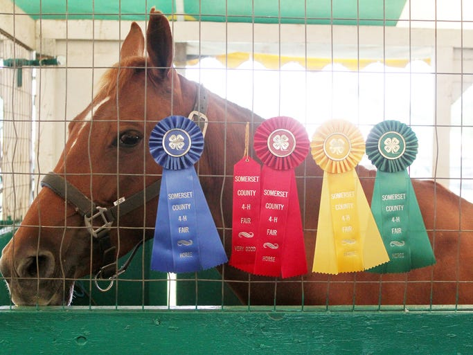 "Day three of the Somerset County Fair being held at North Branch Park in Bridgewater.  ""Carmela"" a 7 year old Pony Mix horse waits in her stable at the 4-H Horse  tent with her ribbons she has won during this year's Fair.    On Thursday August 7,2014 Photo: Mark R. Sullivan/Staff Photographer"