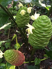 Before  they turn red, pincone ginger's blooms are green