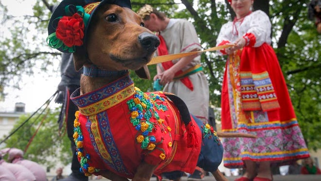 A dachshund is dressed in a Russian folk costume, during a dachshund parade in St. Petersburg, Russia.