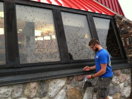 Graduate student Chris Groff helps capture mayflies off a store window in Port Clinton, Ohio.