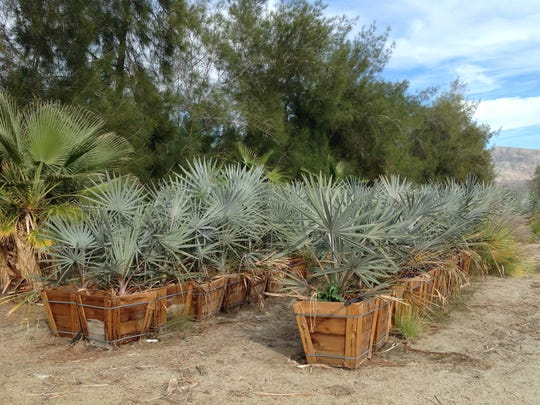 Locally Grown Boxed Olds Bismark Palms in Sky Valley