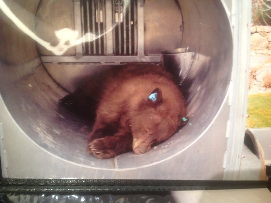 A tranquilized black bear lies in a bear trap in south Reno on Christmas Day,