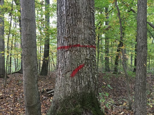 A tree marked by the Indiana Department of Natural