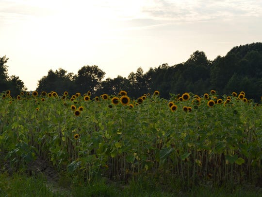 Sunflowers grow in a field on Lincoln Avenue in Vineland.
