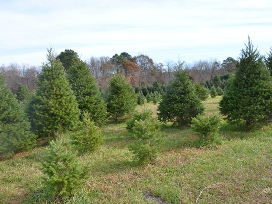 In Sussex County, farms — such as Sposato's Pine Hollow Farm in Milton — offer fresh cut trees, such as Douglas, Fraser, Concolor and Canaan firs and white pine or white spruce.