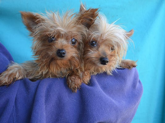 Terrier,Yorkie Paris and London 3yrs and 10yrs