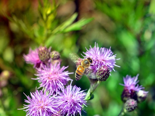Bee on pink thistle flowers pollinating
