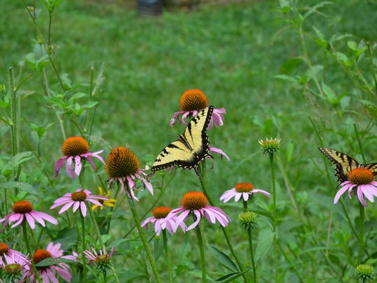 Rain gardens made of native plants such as echinacea provide habitat and food for wildlife and insects.