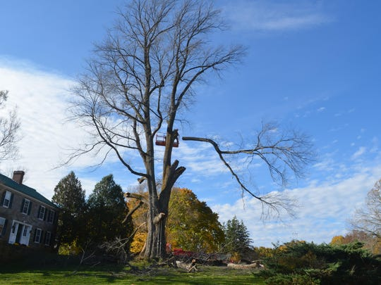 A huge elm tree, believed to be the largest of its kind in New England, is cut down Tuesday in Charlotte.