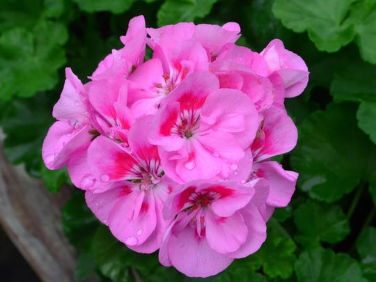 Staff grow 20,000 geraniums a year.