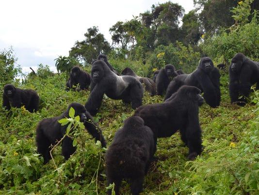 Mountain Gorilla Rebound