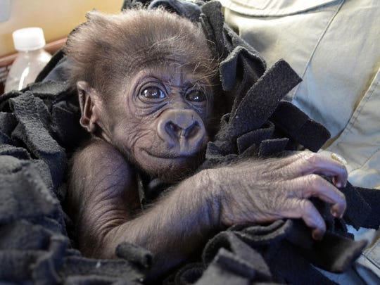 In this Sept. 22, 2014 photo provided by the Cincinnati Zoo, Kamina, a baby Western Lowland gorilla, arrives in Cincinnati by private plane. The zoo has adopted Kamina, born Aug. 16, 2014, from the Oklahoma City Zoo, after her mother shunned her and the Oklahoma zoo did not have an adult female able to adopt and raise her. (AP Photo/Cincinnati Zoo, Michelle Curley)