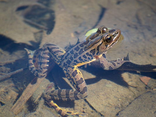 Pickerel Frog Photo by Mohonk Preserve Volunteer Photographer Jacob B. Reibe.jpg
