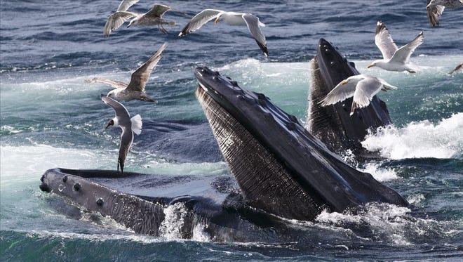 Humpback whales near Provincetown, Mass.