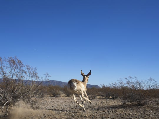 A Sonoran pronghorn is released back into the captive breeding area on the Cabeza Prieta National Wildlife Refuge.