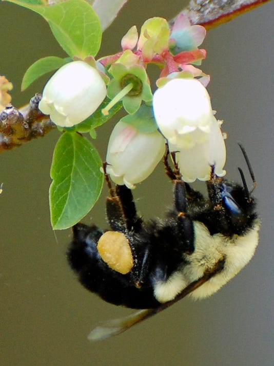bee on blueberry bush by Janet Allen.jpg