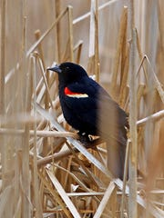 A male, red-winged blackbird.