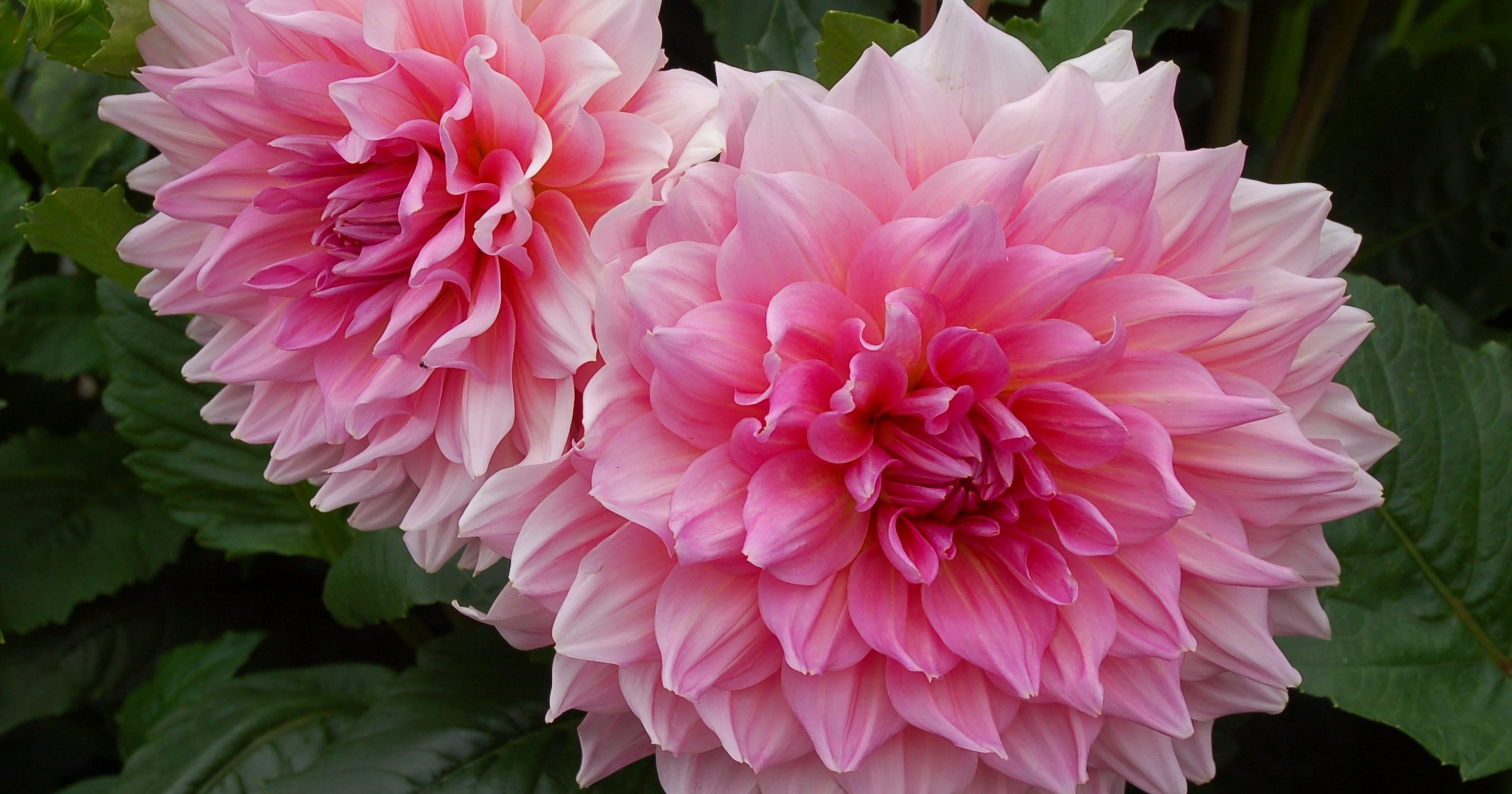 Dependable dahlias for upstate gardens izmirmasajfo